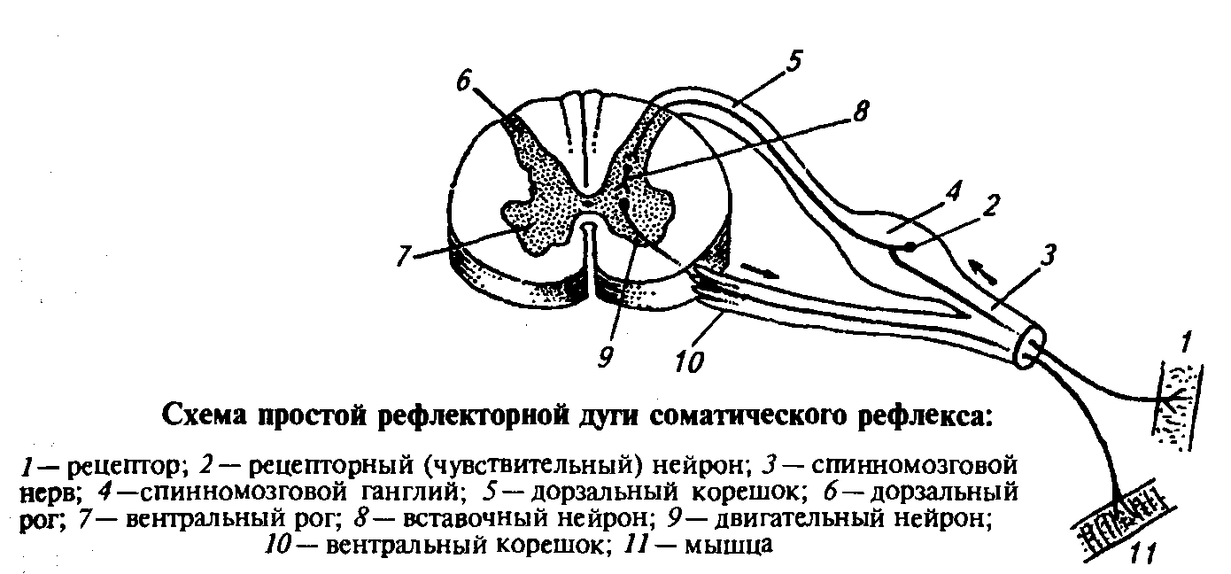 Дуга Рефлекторная